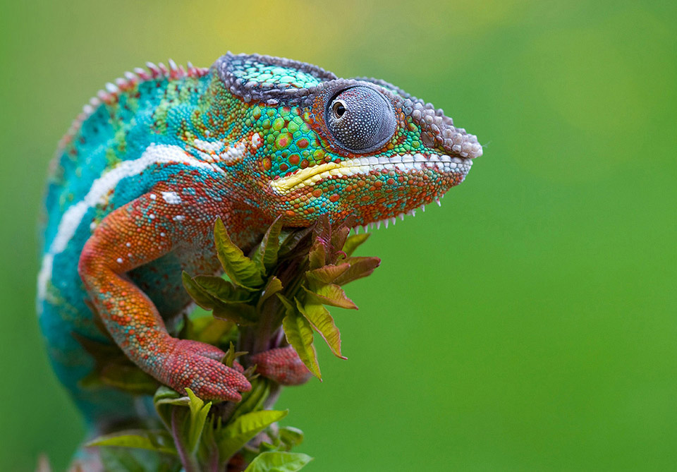 colorful-chameleon