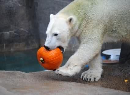 A-two-year-old-polar-bear-eats-a-pumpkin-at-the-Brookfield-Zoo