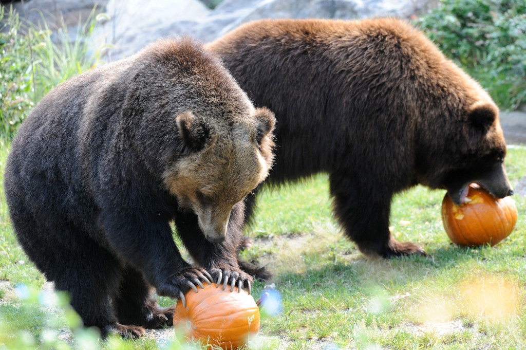 Julie-Larsen-Maher_1080_Grizzly-Bears-and-Brown-Bears-with-Pumpkin ...