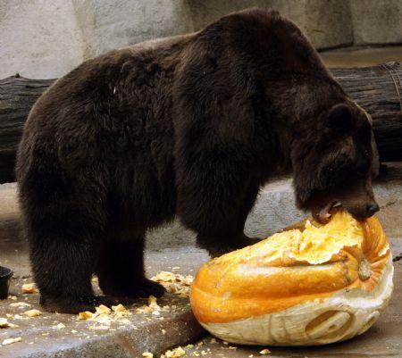 bear_pumpkin_munch