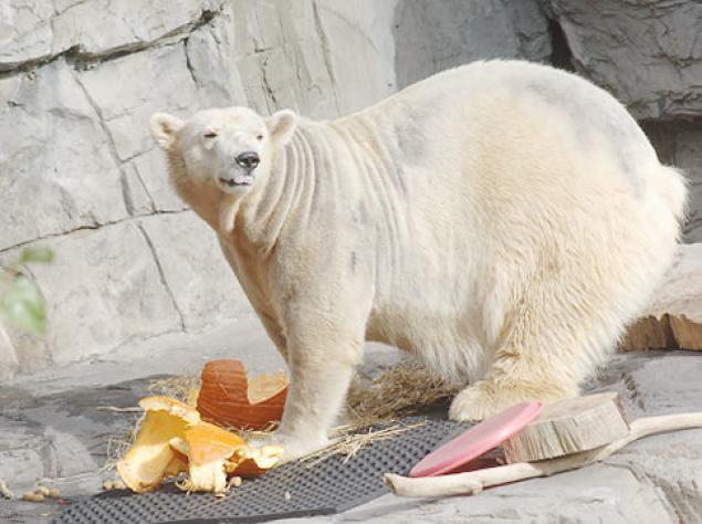 happy_polar_bear_pumpkin