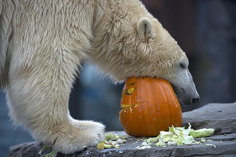 polar_bear_sprinter